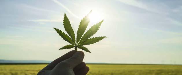 cannabis 0 según estudios esta hierba cura el cáncer