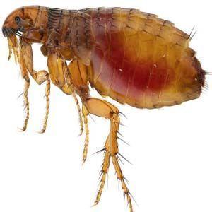 Enfermedades infecciosas: pulgas infectadas con la peste bubónica