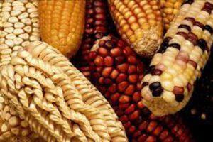 Comida OGM: provoca enfermedades como cáncer 0