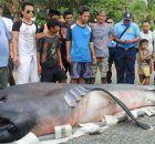 tiburón dormilón del pacífico.