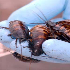 La leche de cucaracha es nutritiva y rica en calorías