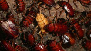Cucarachas: La leche de cucaracha es muy nutritiva 0