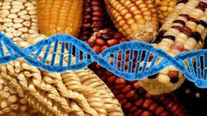Organismos genéticamente modificados infertilidad  0