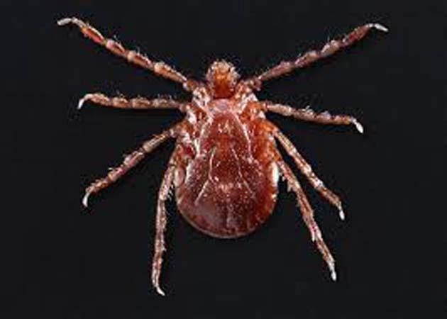 Garrapatas: 1 Longhorned propagan enfermedades a los humanos