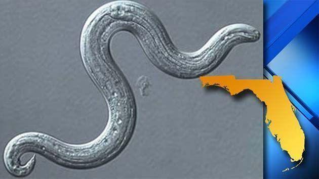 Medicina para parasitos, intestine worm.