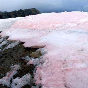 La nieve: en el Ártico hay algas que hacen que el hielo se torne rosado
