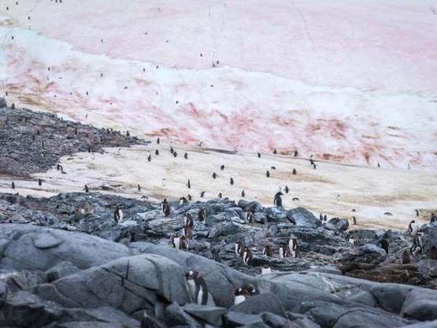 La nieve: Debajo del Ártico hay algas que hacen que el hielo se torne rosado