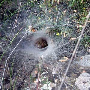 00  Australia: araña tiene propiedades anticancerígenas  00