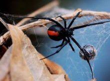 El veneno de araña australiana contiene propiedades anticancerígenas