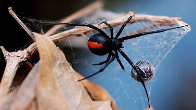 La cura para el cancer: veneno araña con propiedades anticancerígenas