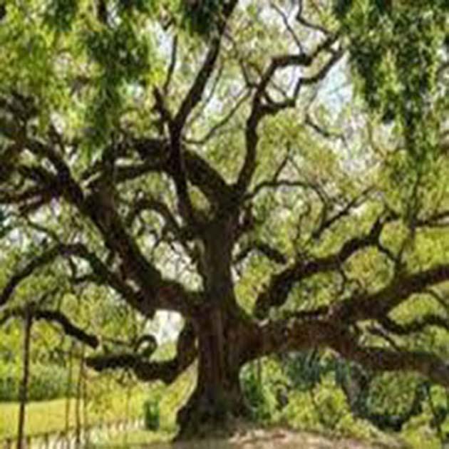 Buscar cuentos infantiles: el Roble es un árbol de 600 años