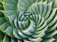 Aloe vera gel es famosa por sus beneficios sobre el cuerpo humano