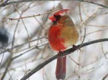 Genero: la ginendromorfia es más visible en pájaros y mariposas