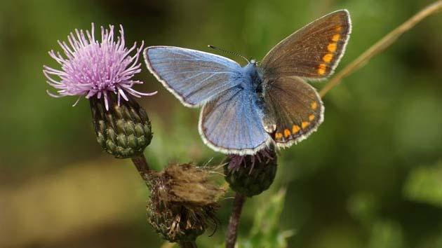 Genero: 1 la ginendromorfia es más visible en pájaros y mariposas