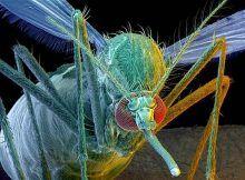 Como eliminar mosquitos: los OGM pasan genes a los nativos