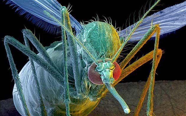 Mosquitos: los OGM pasan genes a los nativos