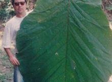 Amazonas: Los botánicos encontraron el árbol Coccoloba en 1982