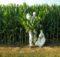 OMG: la plantas modificadas genéticamente roban el CO2 de las plantas naturales