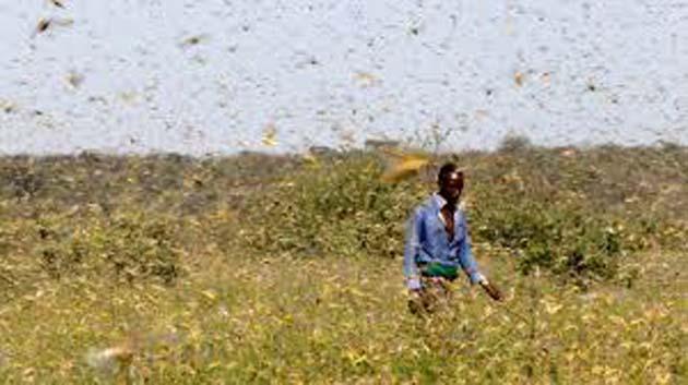 Langostas: Las fuertes lluvias de 2019 son causa principal