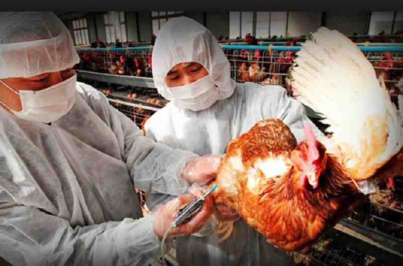 Gripe aviar: Nuevo brote de gripe aviar H5N1 en China