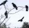 Cuervo: 0 Gigantes bandadas y enormes mosquitos en wuhan