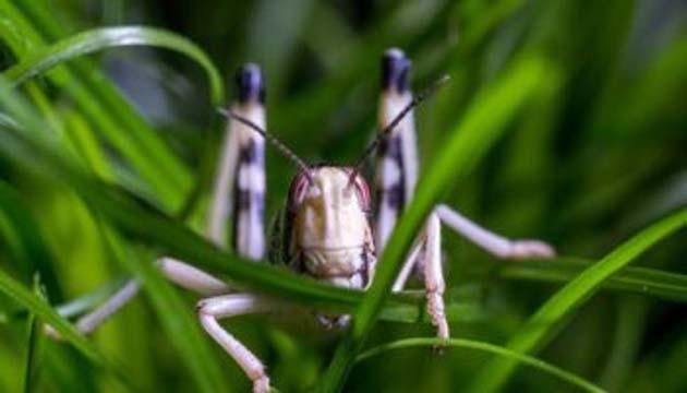 Langosta insecto: enjambre de 360 mil millones