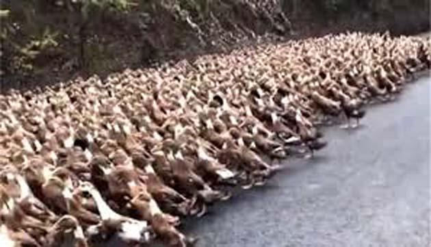 Langostas: China envia 100.000 patos para devorar langostas