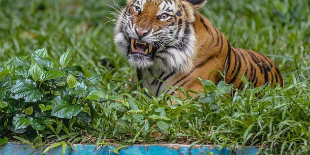 Mascotas: 5 tigres, 3 leones y 2 gatos positivo COVID-19