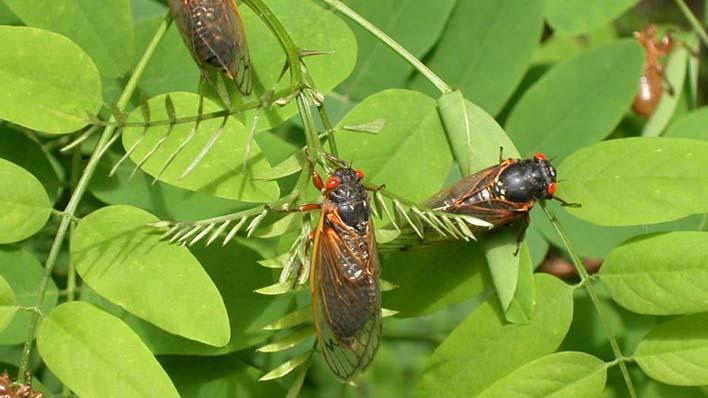 Cigarras: enjambres de insectos por millones en América 0