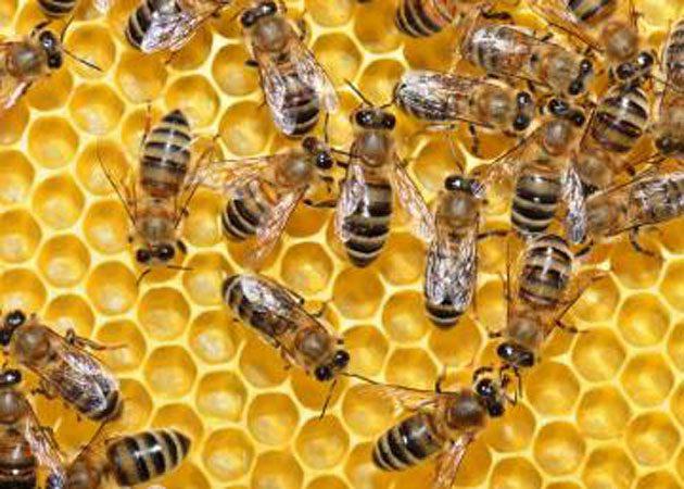 Croacia: 50 millones de abejas mueren misteriosamente