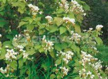 Semen: el cáñamo cultivado en Benin mejora la esperma 0