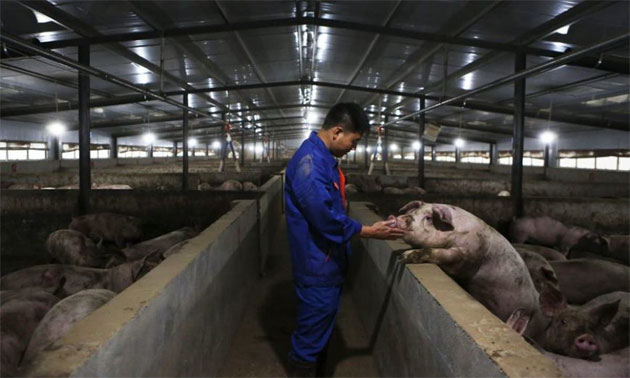 G4: nueva gripe porcina puede causar otra pandemia global