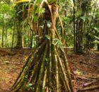Palmera: Socratea exorrhiza se mueve hasta 20 metros por año
