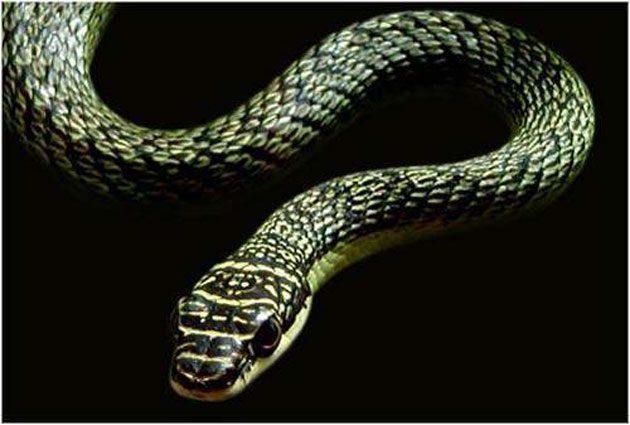 Serpientes voladoras: Conocemos 5 especies reconocidas
