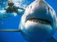 Tiburones: Se estima que habrá que matar más de 500.000
