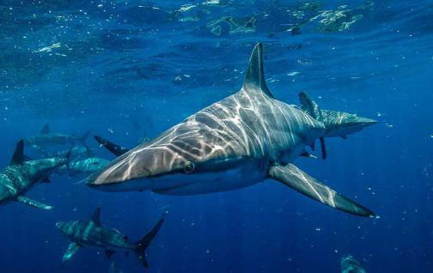 00  Aceite natural: matar más de 500.000 tiburones  00