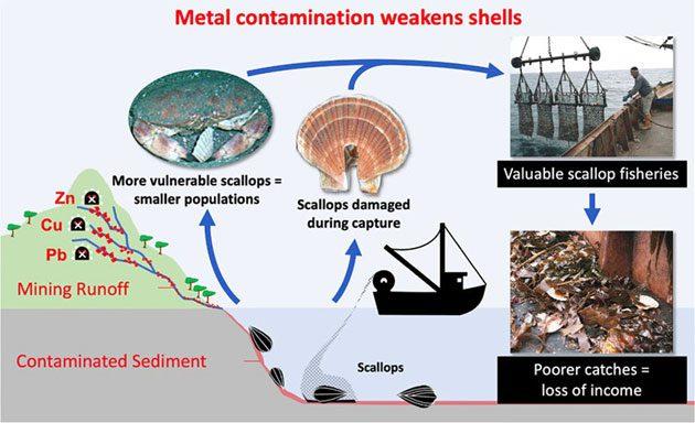 Vieiras: metales pesados aumentan riesgo de depredación 0