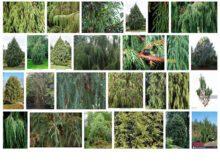 Juniperus recurva: planta con muchos usos tradicionales 0