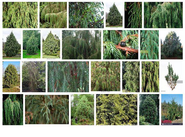 00  Juniperus recurva: planta con muchos usos  00