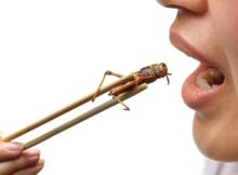 Insectos comestibles: fuente de alimento popular 0