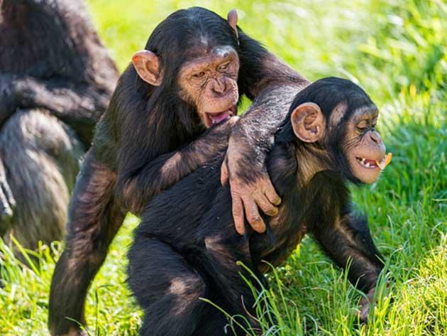 Estrategias: aparentemente monos superan a humanos 0