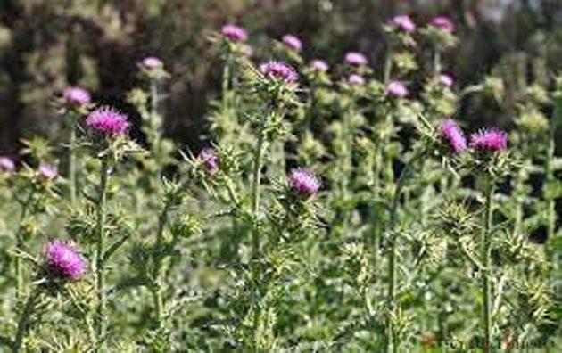 El cardo mariano es una hierba que ofrece beneficios, como promover la salud del hígado y el corazón. Es útil cuando se convierte en un extracto potente.