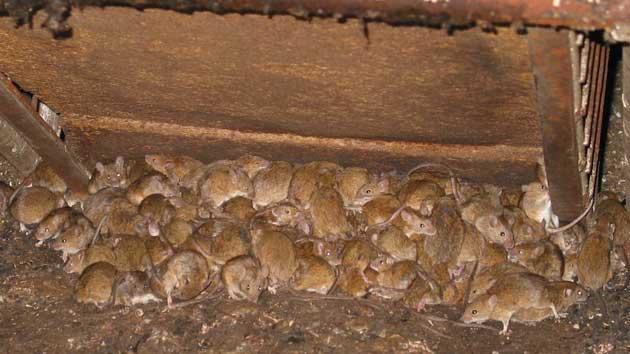 00 Plaga de ratas: se extiende por el este de Australia 00