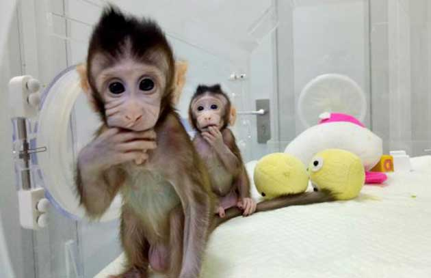 00 Células madre humanas en embriones de monos 00