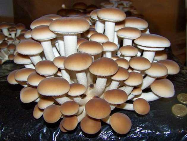 00 Tipos de hongos comestibles cultivados en casa 00