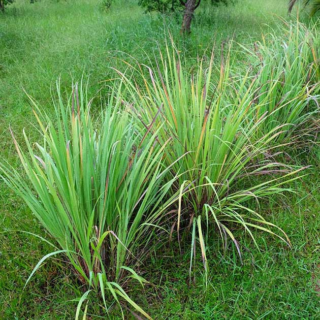 Es difícil mantener estas plagas lejos de su hogar, especialmente sin el uso de productos químicos, pero existen plantas repelentes de mosquitos.