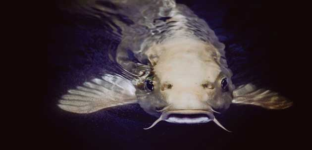 00 Isoflavonas de soja: peces machos en hembras 00