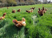 00 Huevos de gallinas libres y huevos de tiendas 00