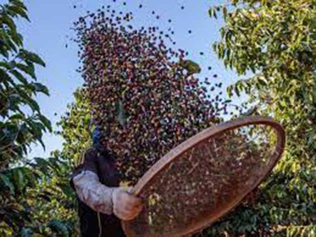00 Grano de café cultivados: afectados por heladas 00